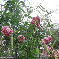 August lilies thumbnail